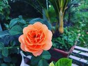 Hơn 300 loài hoa hồng khoe sắc tại trang trại hoa cảnh ngoại thành Hà Nội