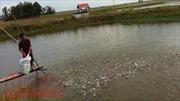 Giá cá tra tăng cao, thương lái giành giật mua, người nuôi ào ạt 'săn' cá giống