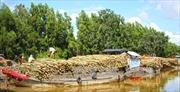 Phát triển mô hình trồng keo lai ở vùng đất U Minh Hạ