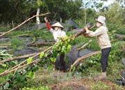 Nông dân trồng tiêu Bình Phước mất trắng hàng tỷ đồng vì lốc xoáy