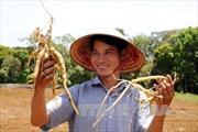 Trồng cây dược liệu, hướng xóa đói giảm nghèo của phụ nữ vùng sâu Kon Tum