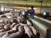 Không kiểm soát được dịch bệnh, đừng nói tới xuất khẩu thịt lợn