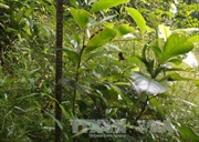 Bảo tồn và phát triển cây quý Vù hương tại Vườn quốc gia Bến En