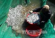 Ngư dân Khánh Hòa trúng đậm cá cơm