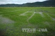 Nam Định tập trung chống úng cứu lúa