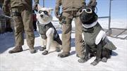 Chó cảnh sát Chile đeo kính, đi giày tuần tra