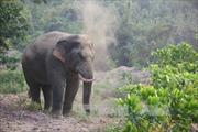 Quảng Nam: Bảo vệ nghiêm ngặt đàn voi rừng