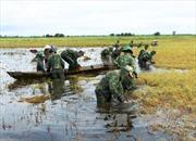 Long An: Giúp dân thu hoạch, cứu hơn 30.000 ha lúa Hè Thu do lũ về sớm