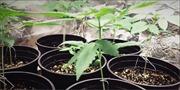 Lâm Đồng phát hiện 2 hộ dân trồng cần sa trong nhà kính