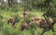 Đồng Nai: Voi rừng liên tục kéo về phá rẫy, kéo đổ nhà dân