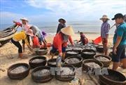 Ngư dân Thừa Thiên - Huế được mùa cá biển
