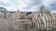 Bốn quốc gia châu Phi muốn giải phóng số lượng ngà voi khổng lồ bị tồn kho