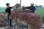 Nghề trồng hành, tỏi ở Lý Sơn