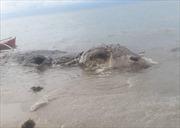 Xác sinh vật kỳ bí dài gần 10m trôi dạt vào hòn đảo ở Philippines