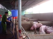 Bắt quả tang cơ sở giết mổ bơm thuốc an thần vào hơn 5.200 con lợn