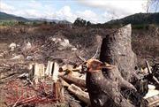 Phú Yên: Lợi dụng dự án Flitch để khai thác trái phép rừng tự nhiên