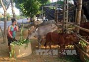 Người dân vùng cao Na Hang thoát nghèo nhờ chăn nuôi trâu, bò