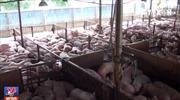 Tác hại khi ăn thịt lợn tiêm thuốc an thần