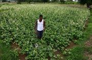 Báo động tình trạng ngộ độc thuốc trừ sâu tại Ấn Độ