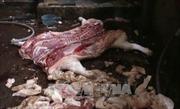 Bắt quả tang một cơ sở giết mổ lợn bị bệnh, lợn chết bán ra thị trường