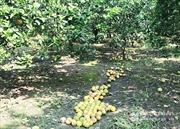 Nông dân Hà Tĩnh lo 'thắt ruột' vì cam rụng quả hàng loạt