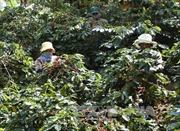 Xuất hiện tình trạng đe dọa, bắt áp giá sàn để thu mua cà phê tại Kon Tum