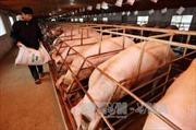 Xuất khẩu thịt lợn: Thời cơ đã tới