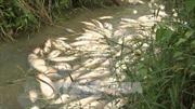 Cá chết tại Quảng Ngãi do nhiễm vi khuẩn Aeromonas spp