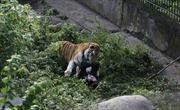 Cửa chuồng mở, hổ Siberia lao đến vồ nữ nhân viên sở thú