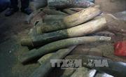 Phạt tù 4 đối tượng buôn lậu hơn 400 kg ngà voi