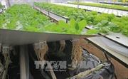 Nông dân Đà Lạt trồng rau trong không khí