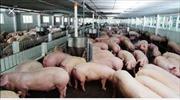 Agribank Bến Tre giảm lãi suất cho vay đối với người nuôi lợn