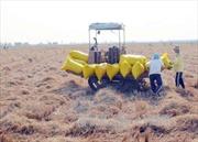 Giá lúa tại An Giang tăng cao