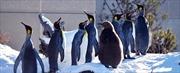 Canada lạnh kỷ lục, chim cánh cụt cũng cần vào nhà sưởi ấm