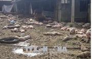 1.200 con lợn trang trại chết cháy do chập điện