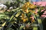 Hoa địa lan Đà Lạt nở sớm khiến nhiều nhà vườn thua lỗ