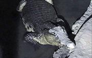Cá sấu dài 2m 'gác' tầng hầm tàng trữ đầy súng đạn