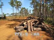 Đắk Nông: Lợi dụng dọn dẹp cây chết... để chặt phá hàng trăm cây thông sống