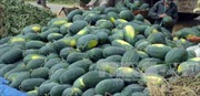 Người trồng dưa hấu Bình Thuận gặp khó do giá quá thấp