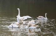 Thả thiên nga vào hồ Gươm để phục vụ du khách