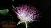 Vẻ đẹp quyến rũ của hoa bàng vuông Trường Sa