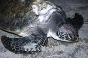 Một ngư dân Quảng Bình thả vích quý hiếm trở lại biển khơi