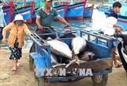 Trúng luồng cá chuyến biển cuối năm, ngư dân Phú Yên vui mừng đón Tết