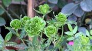 Độc đáo hoa hồng màu xanh lá trong Lễ hội hoa hồng Bulgaria