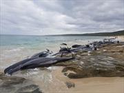 135 con cá voi chết cùng lúc do mắc cạn tại bờ biển Australia