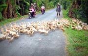 Báo nước ngoài sửng sốt trước cảnh vịt qua đường ở Việt Nam