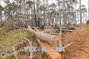 Tan hoang rừng thông cảnh quan ven Quốc lộ 28