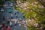 Người dân TP Hồ Chí Minh xao xuyến trước sắc hoa kèn hồng trên phố