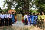 Ba cây Bằng lăng nước ở An Giang được công nhận là Cây di sản Việt Nam