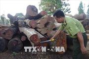 Bắt giữ gỗ khai thác trái phép tại khu vực Vườn Quốc gia Yok Đôn
